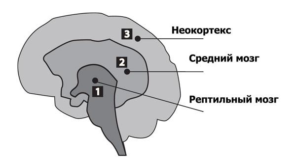 Три мозга человека